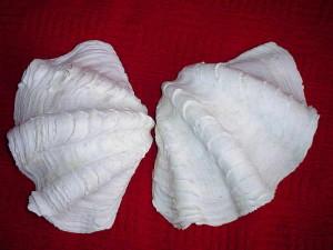 Największe przydacznie mogą dorastać do 150 cm średnicy i ważyć prawie 250 kg. Przywiezione do średniowiecznej Europy stały się egzotycznymi kropielnicami i chrzcielnicami.
