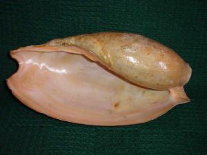"""Cymbium glans /Gmelin,1791/ - 311 mm. Senegalska """"słoniowa trąba"""" mogła być wydajną szuflą do czerpania wody z przesiąkających łodzi."""