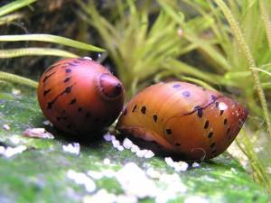 Idealny gatunek do domowego paludarium. Nieskończenie wręcz zmienna - Neritina communis. Źródło: Krzysztof Kijanowski.