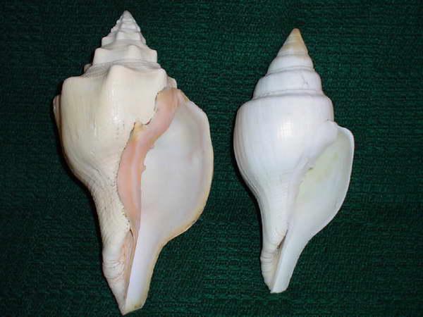 """Turbinella angulata /Lightfoot,1786/ - 268 mm. Turbinella pyrum f. fusus /Sowerby,1825/ - 236 mm. Te masywne konchy dostarczały surowca do produkcji """"magicznych krążków"""" oraz muszlowych instrumentów."""