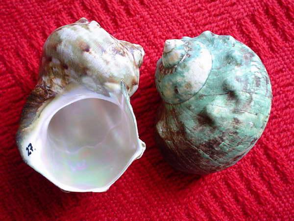 """Turbo marmoratus /L.1758/. Wielki, indopacyficzny - """"turban zielony"""". To jego srebrzysta warstwa perłowa posłuży do produkcji bransolet, a z czasem...guzików."""