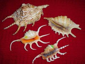 Szponiatki /r.Strombidae/ o ostrych pazurach były żałobnymi grzebieniami.