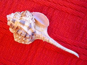 """Niektórzy kolekcjonerzy gromadzą tylko muszle """"rekordzistki"""" pod względem wielkości. Moje Haustellum haustellum / L.,1758 / to prawdziwy olbrzym - 165 mm."""