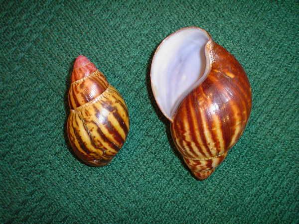 Drapieżne achatiny mogą być bardzo wdzięcznym obiektem przyrodniczych obserwacji.
