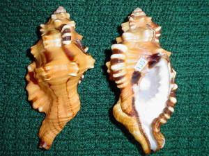 Cymatium lotorium /L.1758/ - 126 mm. Intensywny kolor tej muszli zakrywa w naturze włochate periostrakum.
