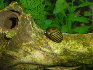 Neritiny pieczołowicie zeskrobują glony w całym akwarium. To ich podstawowa dieta, ale nie gardzą też resztkami pozostawionymi przez ryby.