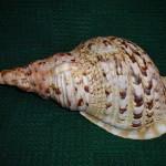 """Charonia tritonis /L.1758/ - 425 mm. """"Róg Trytona"""" był uznawany od dawna za arbitra elegancji w świecie mięczaków."""
