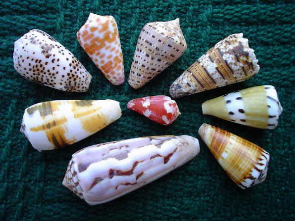 Conidae - zachwycają kolekcjonerów, mogą być niebezpieczne dla plażowiczów... a także fascynują farmakologów. Czyżby ich jad miał dostarczyć nowych medykamentów?