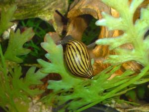 Żerująca Nerita turrita. Ten duży osobnik (32 mm) budzi żywe zainteresowanie moich indonezyjskich brzanek purpurowych.