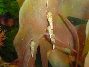 Pospolite świderki - Melanoides tuberculata pełnią rolę służby sanitarnej w każdym akwarium. Najczęściej bytują w żwirowym podłożu, choć czasem żerują na roślinach i ścianach zbiornika.