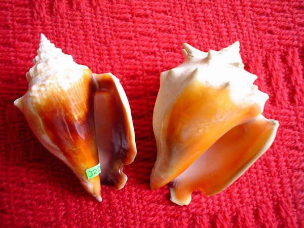 Stromus alatus /Gmelin,1791/ - 105 mm. Strombus pugilis /L.1758/ - 108 mm. Tych barwnych skrzydelników używali Majowie do przyozdabiania krawędzi naczyń ofiarnych.