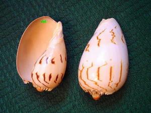 """Z takich młodych, zygzakowatych melo wycinano owalne """"blaszki muszlowe"""", które zamieniały się w rękach krajowców w duże wisiory."""
