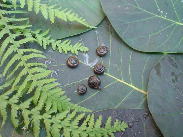 Bardzo liczną na świecie rodzinę - Zaroślarkowatych reprezentuje w Polsce tylko jeden rodzaj i gatunek - Zaroślarka pospolita / Bradybaena fruticum /, 6 mm.