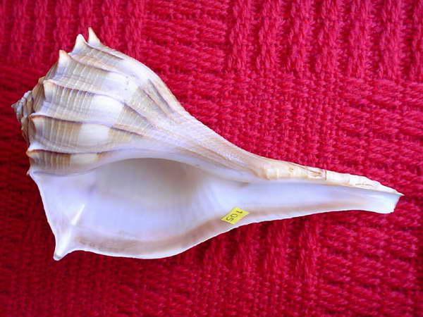Busycon contrarium /Conrad,1840/ - 181 mm. Muszle młodych ślimaków tego gatunku są wzorzyste i łatwe do obróbki ręcznej.