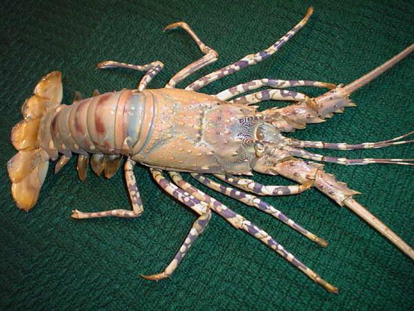 """""""Oko w oko"""" z langustą... Zwierzęta te należą także do tzw. """"owoców morza""""."""