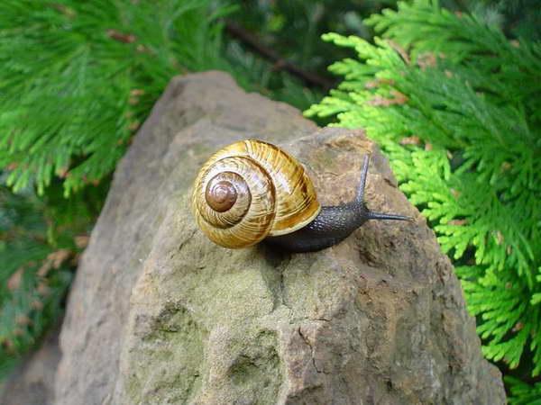 Ślimak zaroślowy / Arianta arbustorum / - jeden z najpospolitszych i najczęściej spotykanych ślimaków w Polsce. Należy do grona roślinożernych żarłoków w ogrodach i sadach..