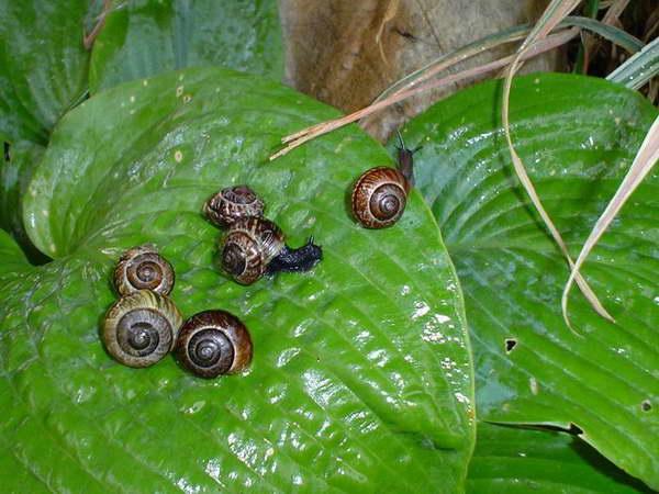 """Muszelki młodocianych - ślimaków zaroślowych są intensywniej ubarwione niż okazów dojrzałych. Nie posiadają też charakterystycznych """"zlewających się"""", jasnych plamek."""