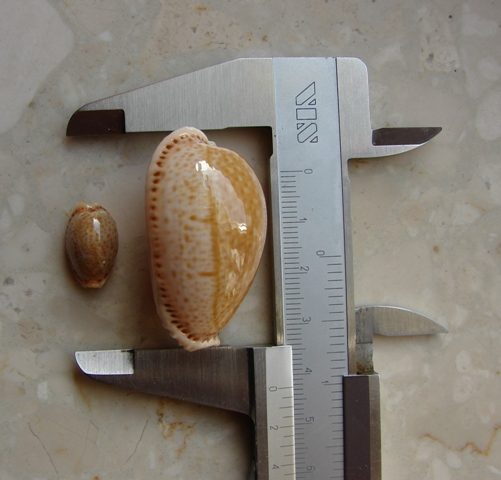 II. Cypraea spurca 16,1 mm and 42,4 mm