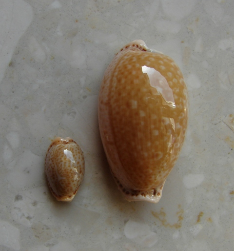 V. Cypraea spurca super small 16,1 mm and giant 42,4 mm