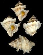 panayotisovialis2