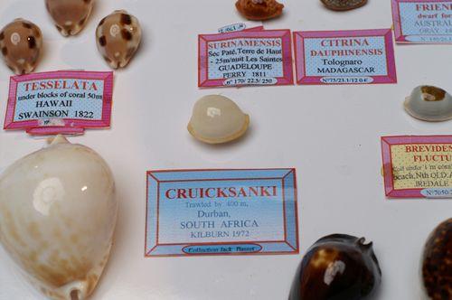 Centralnie, Cypraea cruicksanki - trałowana na głębokości 400 m u wybrzeży Durbanu.