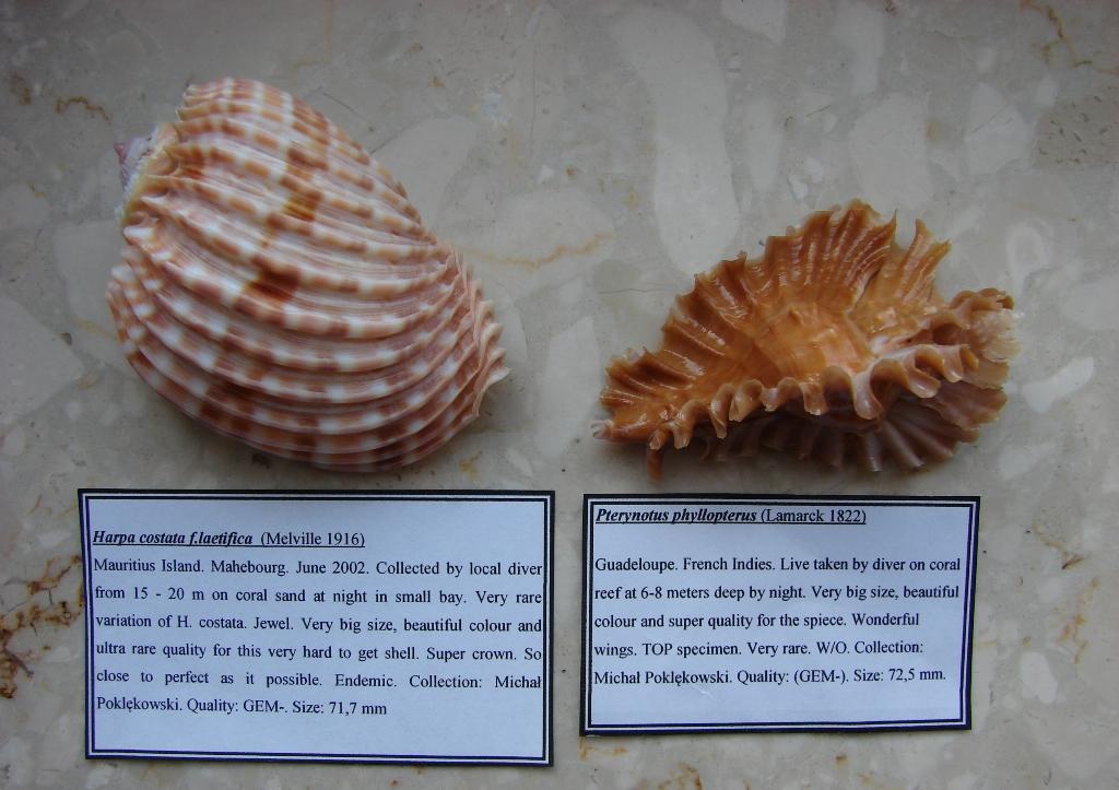 P3. Harpa costata laetifica i Pterynotus phyllopterus