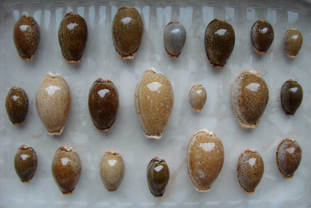 P6. Cypraea spurca z Europy (Grecja, Hiszpania i Cypr). Większość osobiście złowione.