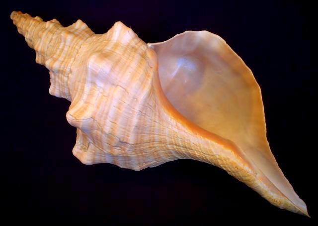 <strong>Pleuroploca gigantea</strong><BR>(Kiener, 1840)<BR>FLORYDA, 451 mm