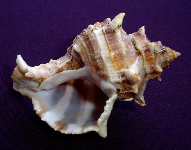 <strong>Hexaplex trunculus</strong><BR>(Linnaeus, 1758)<BR>MAROKO,  78 mm