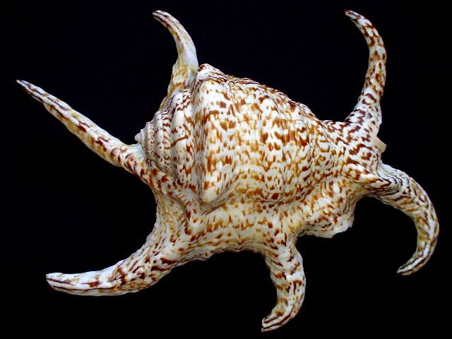 <strong>Lambis chiragra chiragra</strong><BR>(Linnaeus, 1758)<BR>FILIPINY, 223 mm