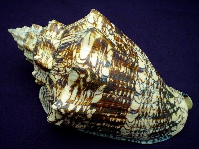 <strong>Voluta ebraea</strong><BR>(Linnaeus, 1758)<BR>BRAZYLIA, 186 mm