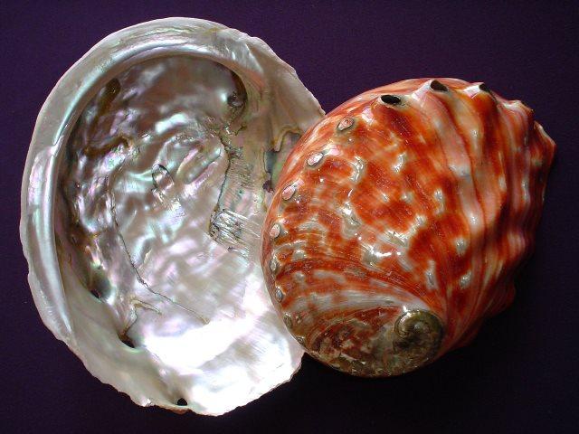 <strong>Haliotis rufescens</strong><BR>(Swainson, 1822)<BR>KALIFORNIA, 245 mm