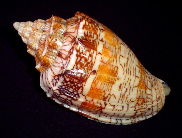 <strong>Voluta ebraea</strong><BR>(Linnaeus, 1758)<BR>BRAZYLIA, 156 mm