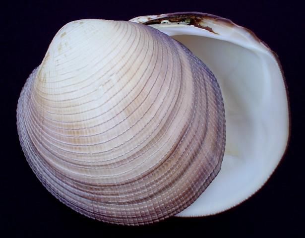 <strong>Periglypta magnifica</strong><BR>(Sowerby, 1841)<BR>Wyspy Salomona, 113 mm