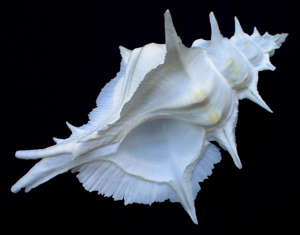 <strong>Siratus alabaster</strong><BR>(Reeve, 1845)<BR>TAJWAN, 148 mm