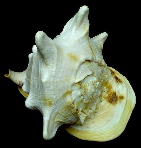 <strong>Cassis cornuta</strong><BR>(Linnaeus, 1758)<BR>FILIPINY, 251 mm
