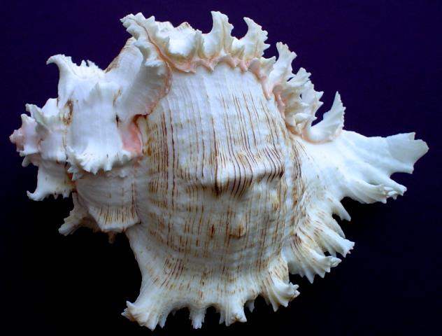 <strong>Chicoreus ramosus</strong><BR>(Linnaeus, 1758)<BR>FILIPINY, 186 mm