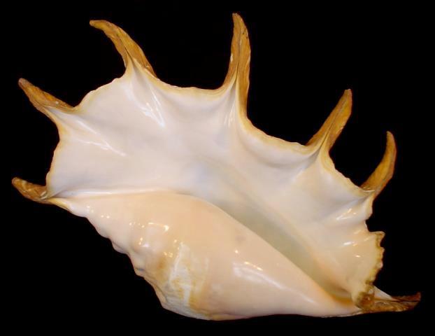 <strong>Lambis truncata</strong><BR>(Lightfoot, 1786)<BR>MADAGASKAR, 356 mm